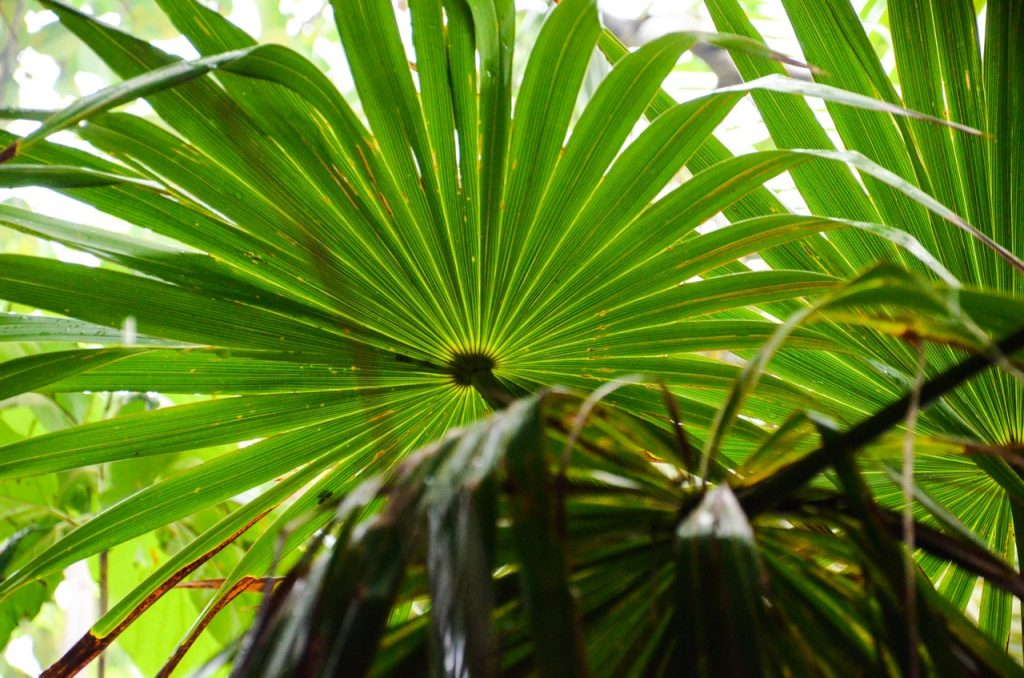Saw palmetto tree